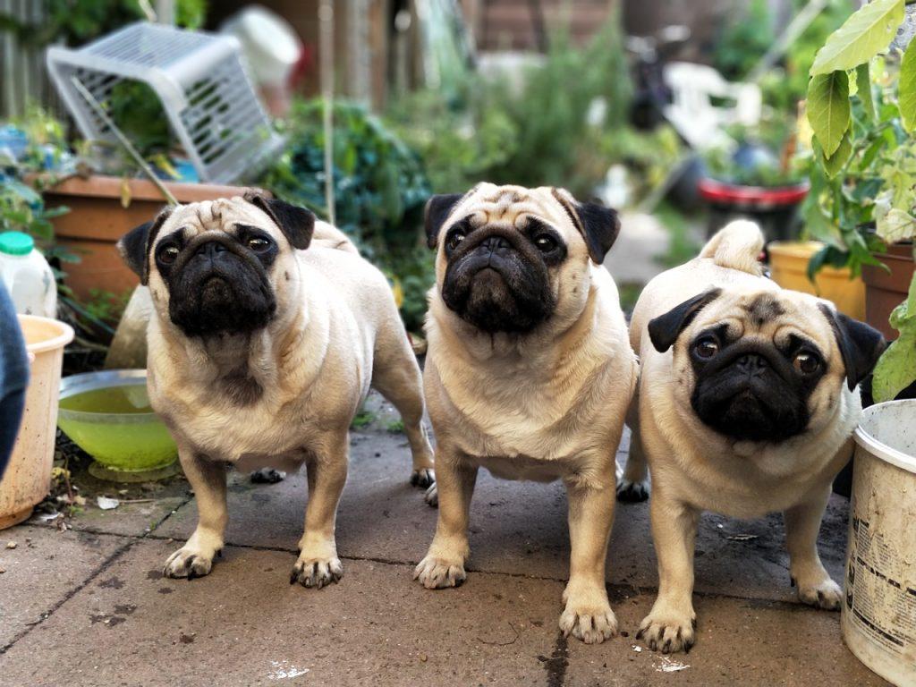 Curiosidades sobre a raça Pug 3