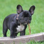 As alergias mais comuns do bulldog francês (e como tratá-las) 11