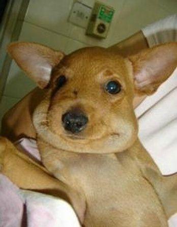 Picada de abelha ou vespa em cachorro - O que fazer? 2
