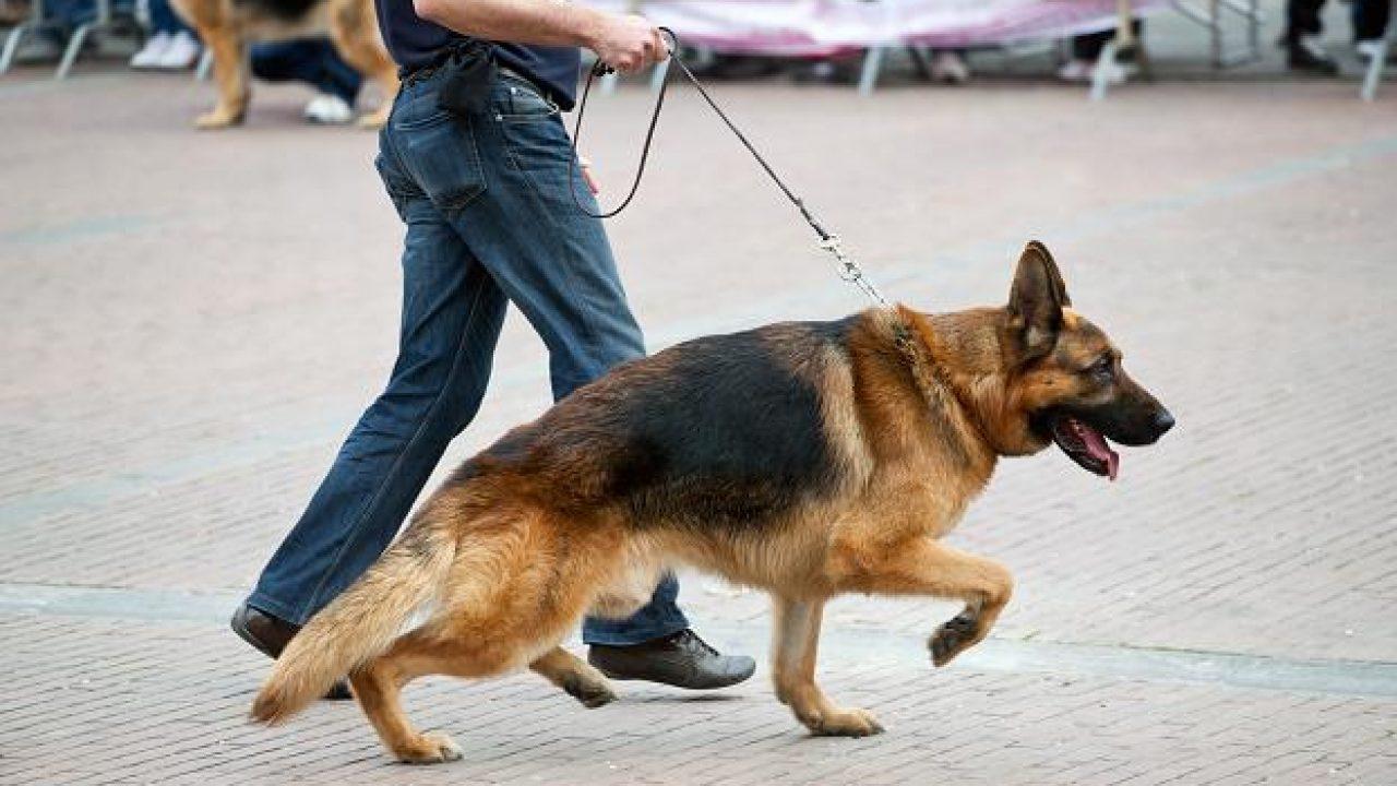 Cinco doenças ortopédicas comuns em cães 1