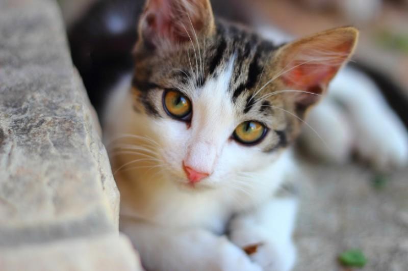 10 doenças mais comuns em gatos