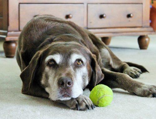 Artrite em cachorros – sintomas, tratamento e cuidados