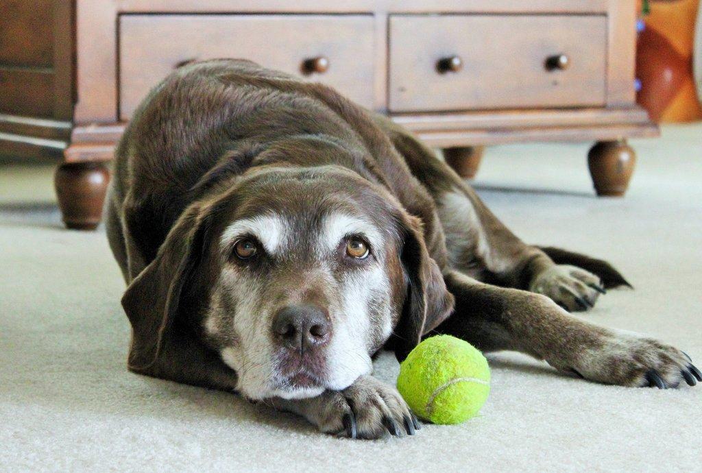 Artrite em cachorros - sintomas, tratamento e cuidados 1