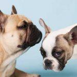 Curiosidades incríveis sobre os bulldogs franceses na atualidade 5