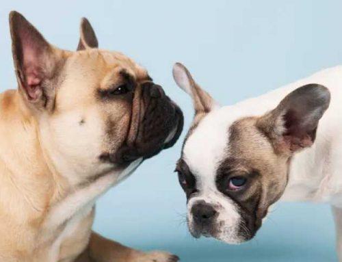 Curiosidades incríveis sobre os bulldogs franceses na atualidade