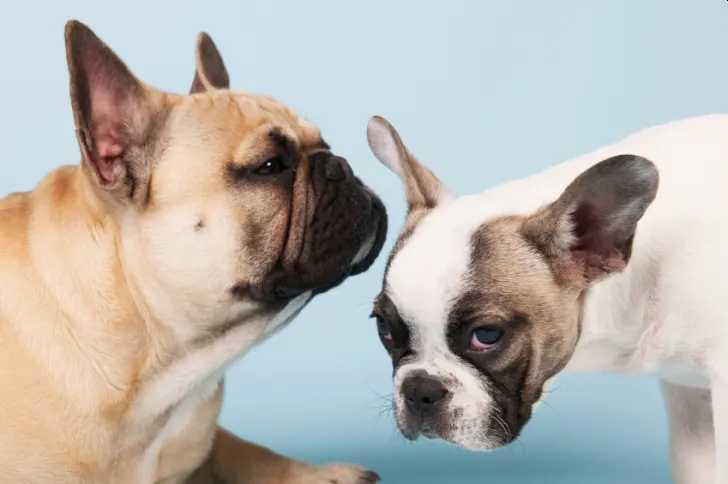 Curiosidades incríveis sobre os bulldogs franceses na atualidade 17