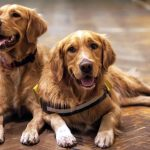 Doenças do Golden Retriever: quais são e como prevenir 4