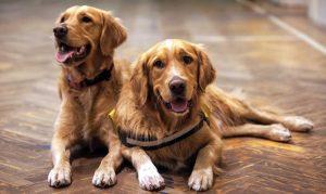 Doenças do Golden Retriever: quais são e como prevenir 14