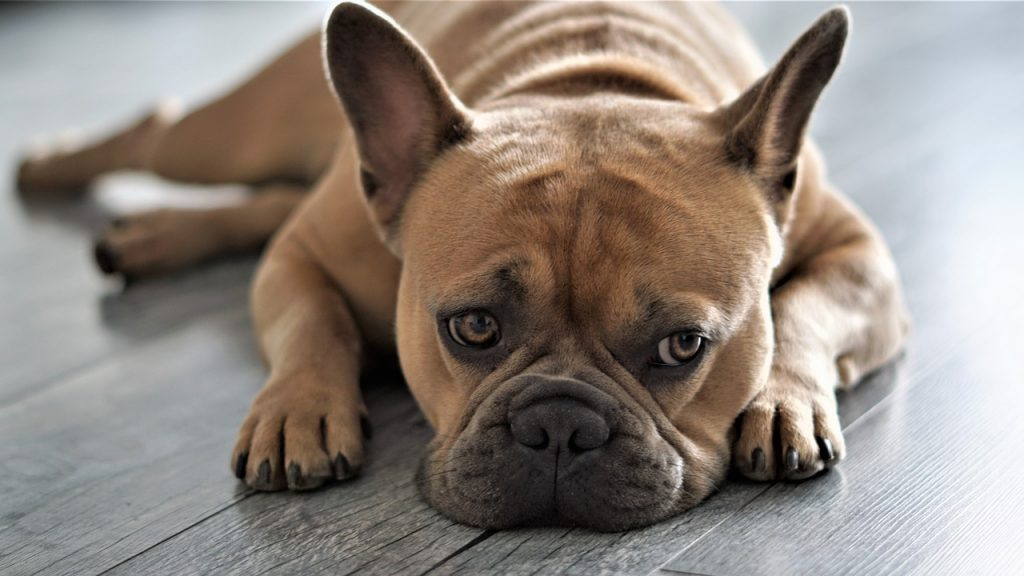 Como cuidar dos olhos do Bulldog Francês 1