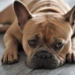 Como cuidar dos olhos do Bulldog Francês 6