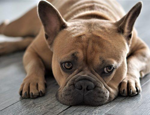Como cuidar dos olhos do Bulldog Francês