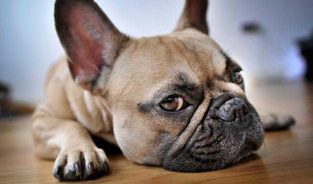 Como cuidar dos olhos do Bulldog Francês 2