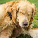 Golden Retriever e as alergias de pele - sintomas e tratamentos 10