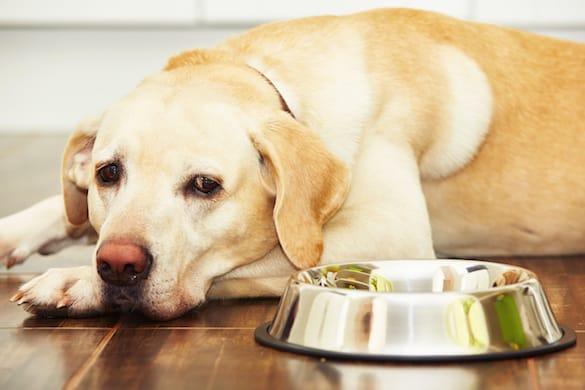 Meu cachorro não quer comer