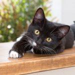 Vírus em gatos: FELV e FIV - Leucemia e AIDS felina 2