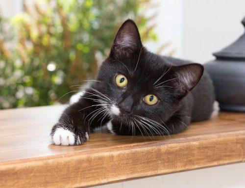 Vírus em gatos: FELV e FIV – Leucemia e AIDS felina