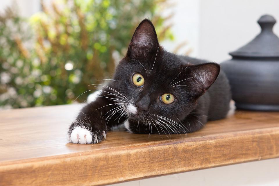 Vírus em gatos: FELV e FIV - Leucemia e AIDS felina 5