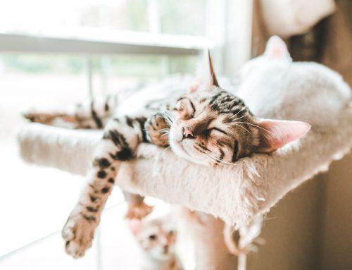 Sete recomendações para ter um gato caseiro saudável
