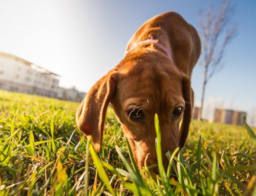 Por que meu cachorro come cocô?
