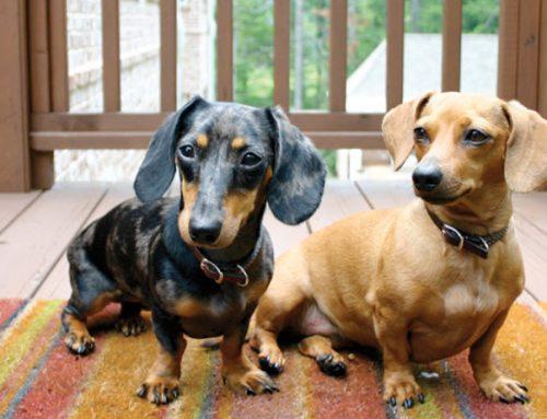 Raças de cães que têm mais chance de ter Síndrome de Cushing