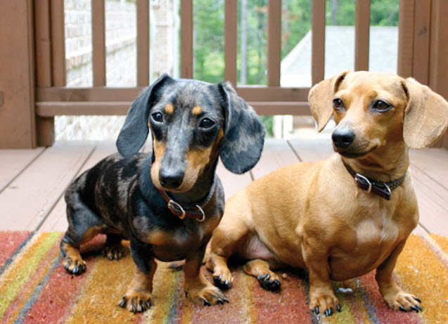 Raças de cães que têm mais chance de ter Síndrome de Cushing 5