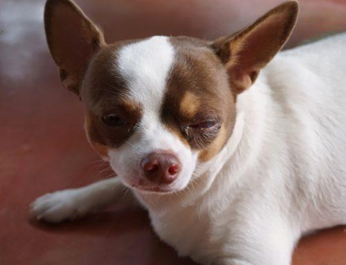 Secreção no olho do, cachorro – saiba tudo o que pode ser