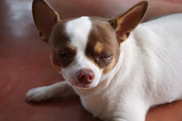 Secreção no olho do, cachorro - saiba tudo o que pode ser 2