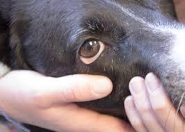 As 10 doenças mais comuns nos olhos caninos: como identificar e o que fazer 8