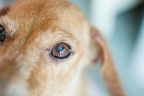 As 10 doenças mais comuns nos olhos caninos: como identificar e o que fazer 10