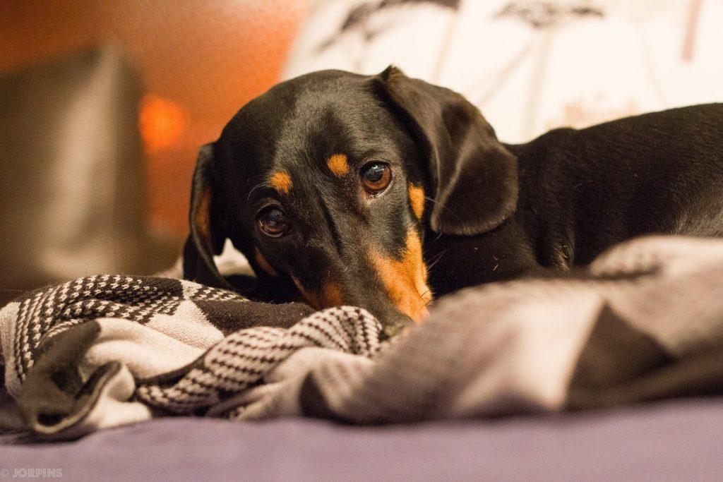Como saber se o seu cachorro está com febre, causas e o que dar e fazer 1