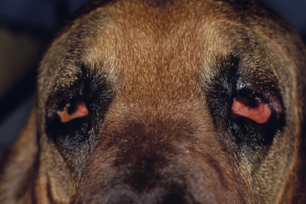 As 10 doenças mais comuns nos olhos caninos: como identificar e o que fazer 12
