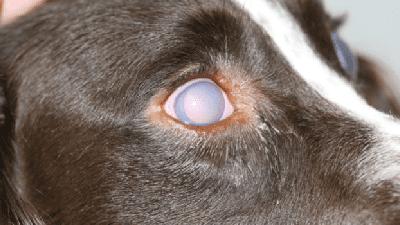 As 10 doenças mais comuns nos olhos caninos: como identificar e o que fazer 9