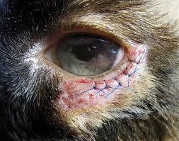 As 10 doenças mais comuns nos olhos caninos: como identificar e o que fazer 13