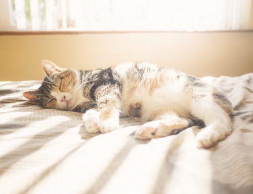 O seu gato está superaquecendo? Perigos e cuidados com o calor em felinos