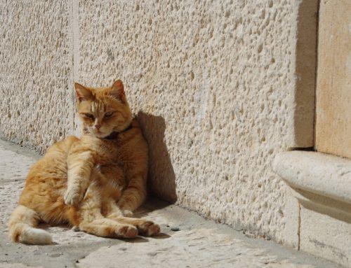 Como refrescar o gato no verão e no calor e mantê-lo calmo