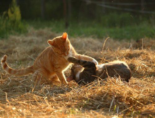 Perigos que os donos de gatos precisam estar cientes neste verão