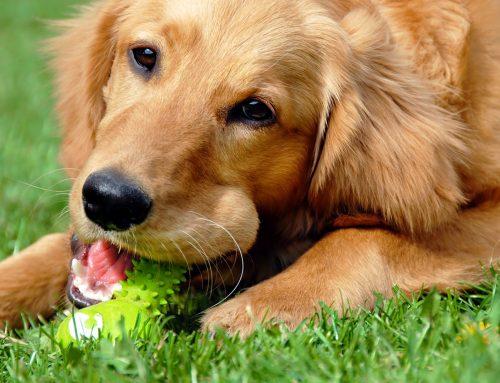 Como lidar com convulsões em cães. O que é epilepsia canina