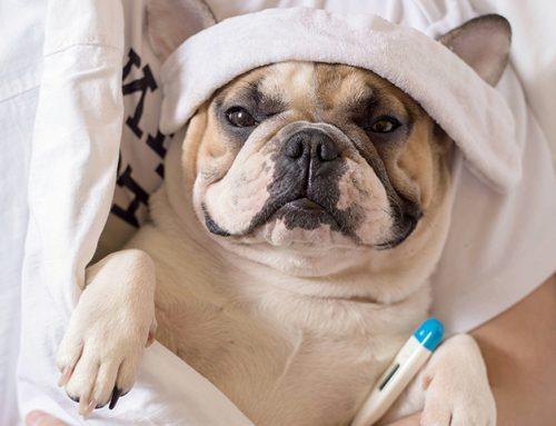 Cães podem contrair Coronavirus COVID-19? Como proteger?
