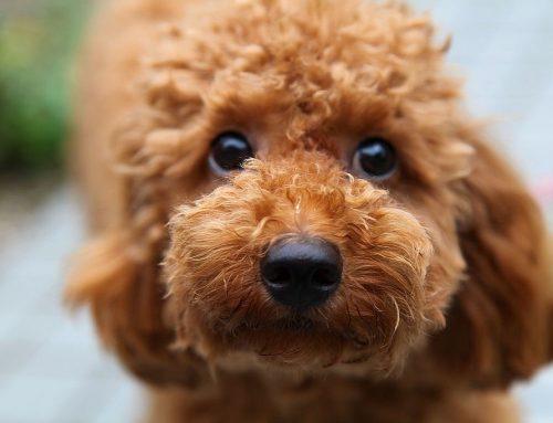 Problemas oftalmológicos em Poodle