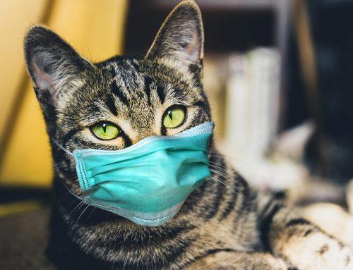 Gatos podem pegar COVID 19 / Coronavirus?
