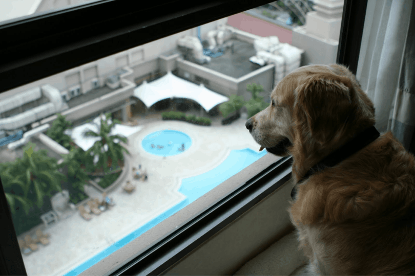 Dicas para cuidar de um Golden Retriever em apartamento 2