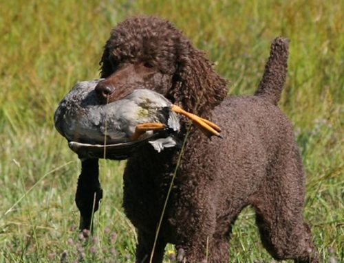 10 fatos interessantes sobre poodles