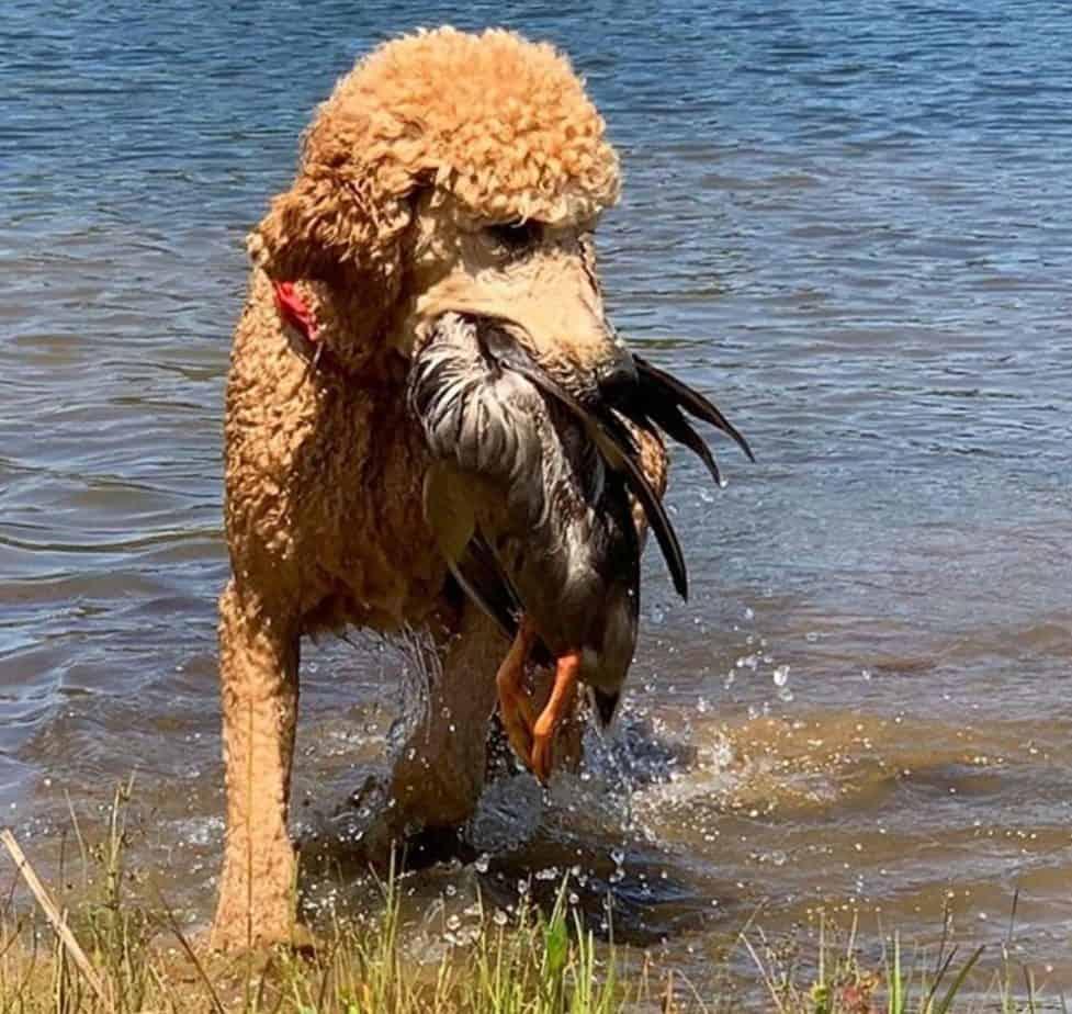 10 fatos interessantes sobre poodles 4