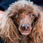 Como identificar se seu cachorro tem catarata 12