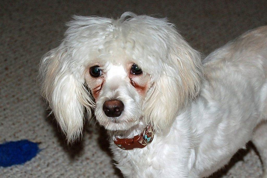 Problemas oftalmológicos em Poodle 2