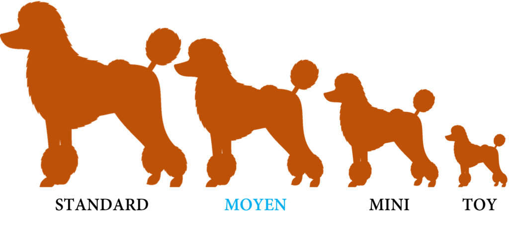 10 fatos interessantes sobre poodles 3