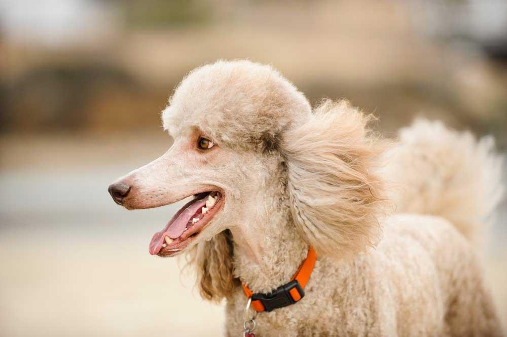 5 problemas de saúde mais comuns em poodle 1