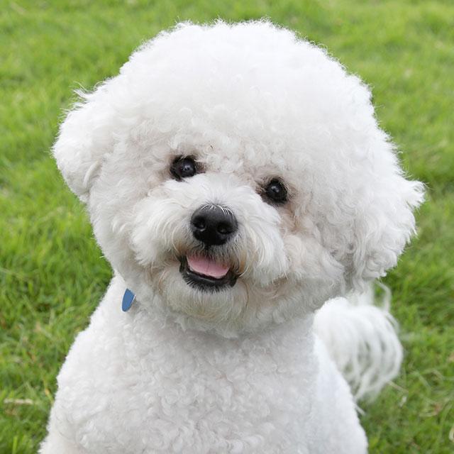 Golden Retriever é um cachorro hipoalergênico? 3