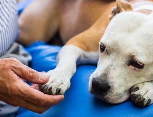 Como saber se o cachorro está sentindo dor? Nove formas de identificar