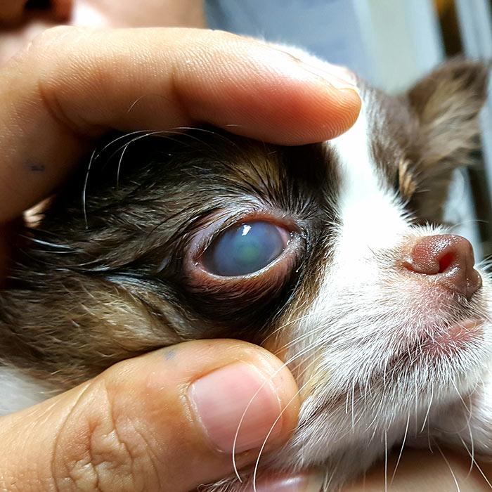 Entenda a úlcera de córnea em cachorros: sintomas e tratamentos 10